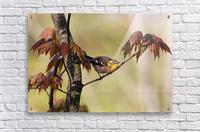 Blackburnian Warbler In Maple Tree  Acrylic Print