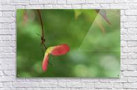 Japanese Maple Seed  Acrylic Print