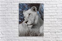 White Lion Female 1030593  Acrylic Print