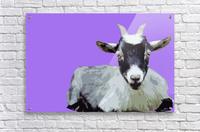 Goat popart purple  Acrylic Print