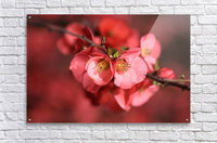 Flowering Quince Of Spring  Acrylic Print
