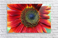 Red Sunflower With Yellow Tips  Acrylic Print