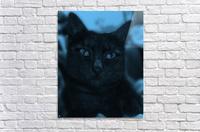 black cat in blue  Acrylic Print