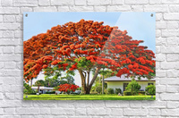 Royal Poinciana Tree  Acrylic Print