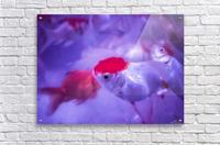 Golden Fish   Acrylic Print
