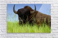 Female Bison  Acrylic Print
