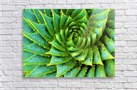 Cactus Spiral  Acrylic Print