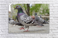 Pigeon in the park  Acrylic Print