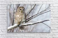 Barred Owl on a Snowy Branch  Acrylic Print