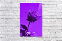 Love Rose purple 8665  Acrylic Print