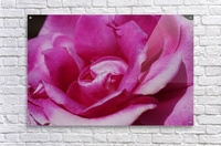 Heart Of Pink Rose  Acrylic Print