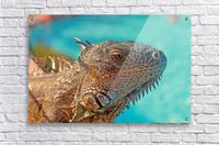Spiny-Tailed Iguana  Acrylic Print