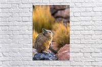 Viscacha  Acrylic Print
