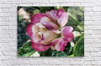 Lavender Rose  Acrylic Print