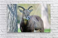 Mouflon in the Forest Portrait  Acrylic Print