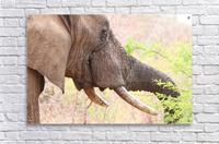 Elefant 6770  Acrylic Print