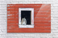 Great Horned Owl - Red Barn  Acrylic Print