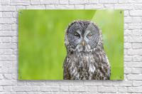 Great Grey Owl - Grey on Green  Acrylic Print