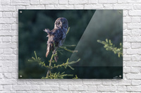 Great Grey Owl - Tree Top Hunting  Acrylic Print