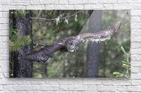 Great Grey Owl - Wing Span  Acrylic Print