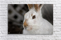 Mr Rabbit  Acrylic Print