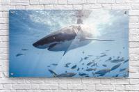 Great White Dive  Acrylic Print