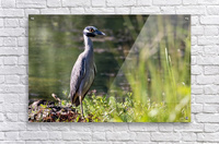 Yellow crowned Night Heron at Brick Pond Park 4690  Acrylic Print