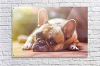 Sweet bully  Acrylic Print