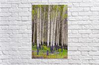 Aspens In Banff National Park  Acrylic Print