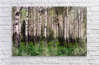 Aspens In Banff National Park at Muleshoe  Acrylic Print