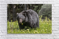 Black Bear With Dandelion  Acrylic Print