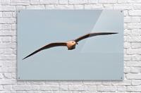 Fly like a Seagull  Acrylic Print