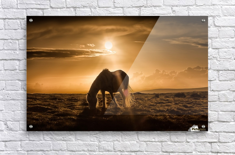 Gower pony at sunset on Cefn Bryn Gower  Acrylic Print