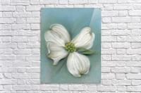 White Dogwood with Leaf  Acrylic Print