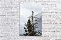 Bald Eagle In Banff National Park  Acrylic Print