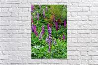 Shades Of Purple Lupine  Acrylic Print