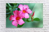 Mandevilla In Pink  Acrylic Print