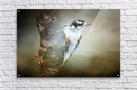 Juvenile male Downy Woodpecker  Acrylic Print
