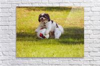 Ball Humpin  Acrylic Print