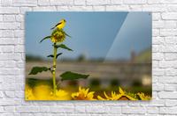 Sunflower Perch  Acrylic Print