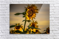 Gone with the Sunflowers  Acrylic Print