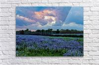 lupine sunset   Acrylic Print