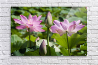 Lots bud with blooming lotus flowers behind  Acrylic Print
