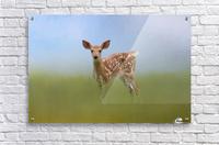 Spotty the Fawn  Acrylic Print