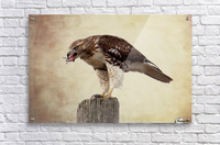 Meal Time for a Hawk  Acrylic Print