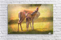 Doe with fawn looking back  Acrylic Print