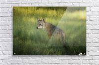 Evening Coyote  Acrylic Print