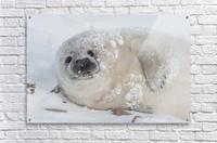 You can call me Snowball!  Acrylic Print