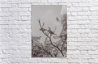 Couple of Parrots in the Top of a Tree  Acrylic Print