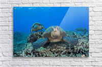 Several green sea turtles (Chelonia mydas), an endangered species, gather at a cleaning station off West Maui; Maui, Hawaii, United States of America  Acrylic Print